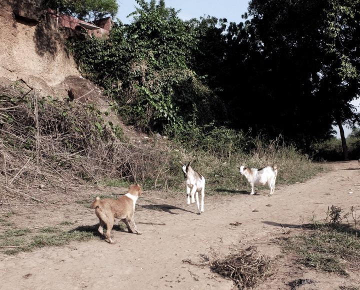 GOATS AND DOG STANDOFF