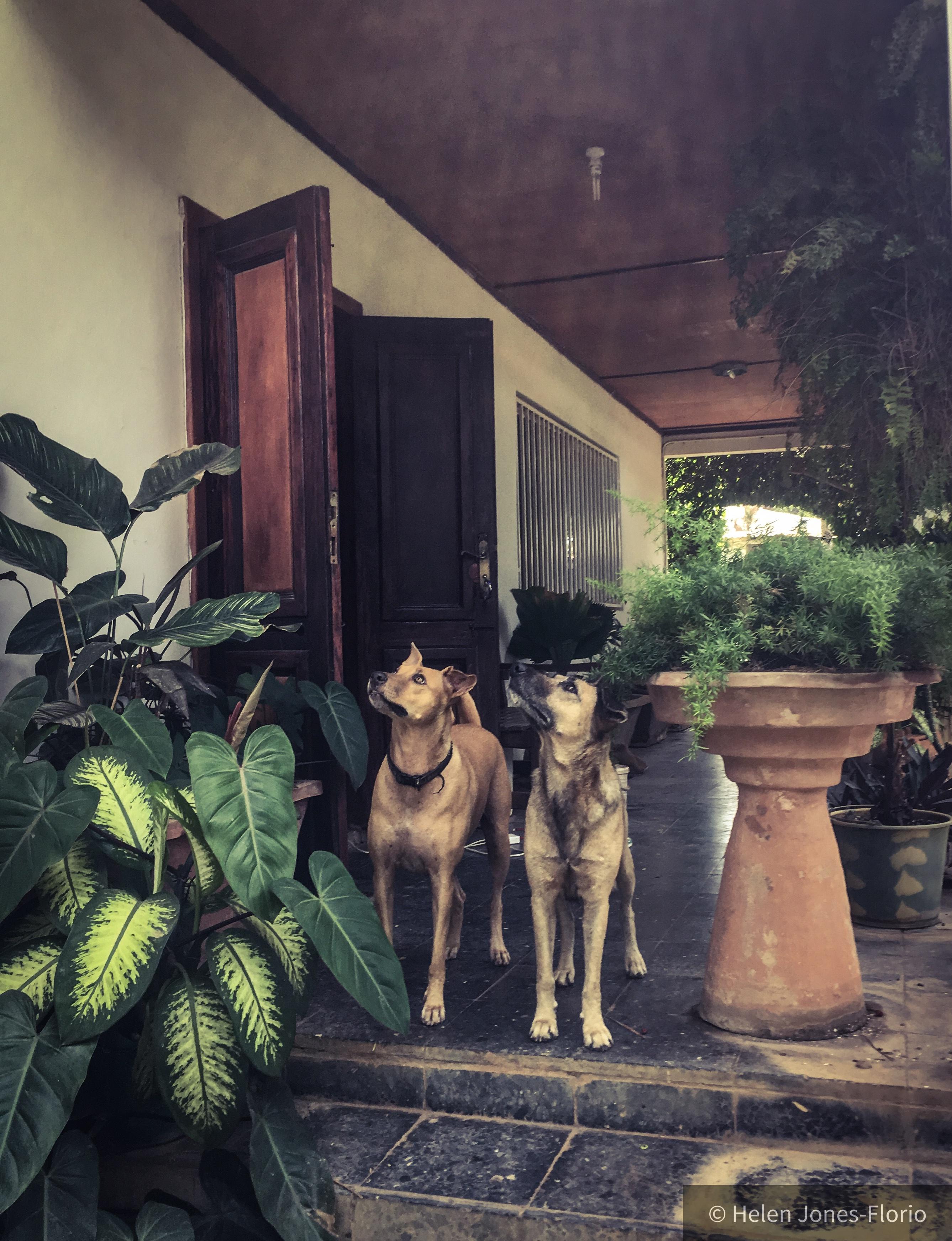 White Tip & Wolf on monkey watch © Helen Jones-Florio Dogs of Gambia