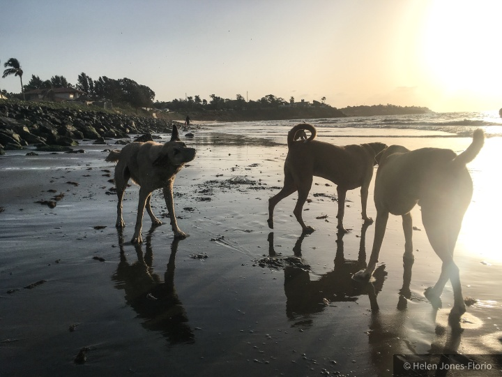 Beach dogs - Wolf, White Tip and Juju © Helen Jones-Florio