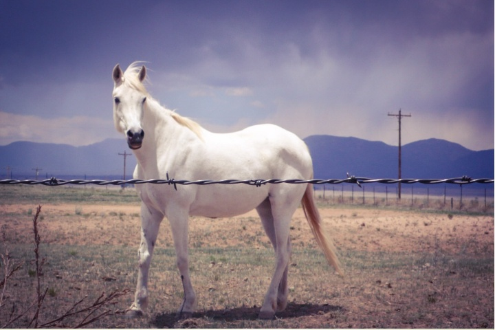 Wabi Sabi - white Horse standing alone in a field , New Mexico © Helen Jones-Florio