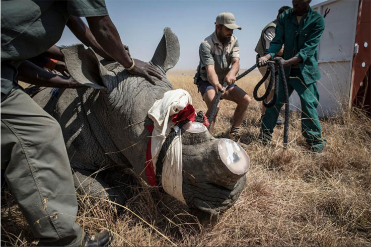 A rhino is tranquilized before being transported - Rhino Relocation, South Africa © Jason Florio